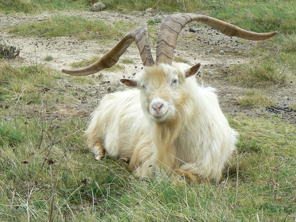 £120,000 raised for North Wales Hospice thanks to the roaming Great Orme goats